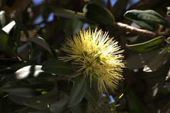 Yellow Pohutukawa (speak_esy) Tags: newzealand yellow christmastree pohutukawa nativetree