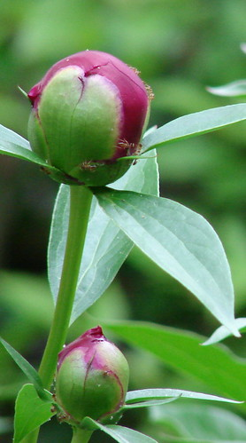 ants on peony flower bud, not yet opened. Peonies exude nectar which attracts the ants