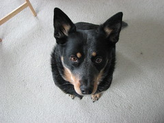 Looking at mom (amsun) Tags: tag3 taggedout female tag2 tag1 jasmine australiancattledog acd blueheeler