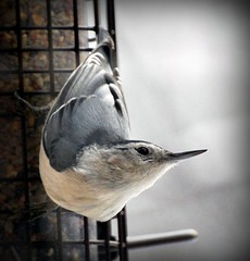 White-breasted Nuthatch (blmiers2) Tags: newyork bird nature beautiful birds geotagged wildlife birdfeeder nuthatch whitebreastednuthatch avian smallbirds sittacarolinensis passeriformes backyardbirds birdphoto sittidae ttcu blm18 blmiers2