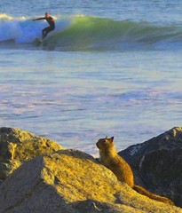 (SmartAnnie (Away)) Tags: ocean beach squirrel surfer dude radical southerncalifornia orangecounty sanclemente catchawave diamondclassphotographer flickrdiamond