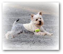 Ball play (shinichiro*) Tags: santa dog yorkie japan nikon order 2008 crazyshin d3 aroundhome 28300 dogsall order500