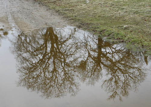 Trees in a puddle