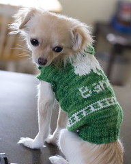 Sweater Model (anxiousdog) Tags: dog chihuahua wool barley puppy sweater knitting knit yarn projects imadethis stranded fo barlow intarsia magicloop dogsweater knitpicks 4leafclover colorwork barlowgirl araucanianaturewool mypattern longcoatchihuahua knitpickstelemark babybarlow puppysweater yarntheif stpatricksdaysweater