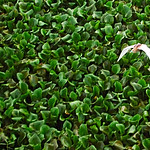 bird flying over water hyacinth thumbnail