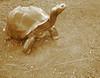 Sepia Tortoise Statue - Tulsa Zoo