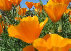 Orange You Glad to Meet Me! (moonjazz) Tags: california orange primavera nature field closeup petals spring pretty symbol grow vivid poppy bonita naranja renew naturesfinest eyelevel mywinners abigfave aplusphoto superbmasterpiece eliteimages goldstaraward mimamorflowers