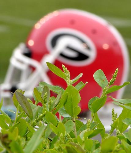 UGA football helmet and hedges