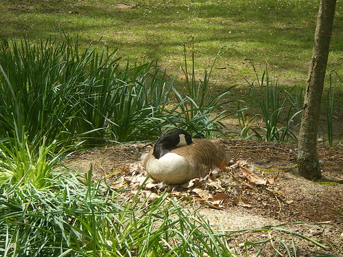 Canadian Goose, Nesting, Memphis Botanic Garden
