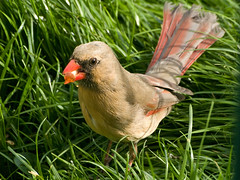 Female Cardinal (tbower) Tags: bird nature raw cardinal olympus e300 70300mm specanimal