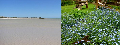 Across an ocean of forget-me-nots