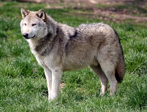 European Grey Wolf by f0rbe5.