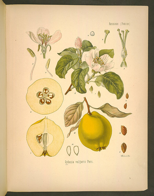 Cydonia vulgaris Pers - quince by botanicus_mbg
