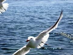 Planeo P4270013p (Miquel Salas   EA6QN) Tags: sea puerto mar fortaleza bahia gaviota pollena