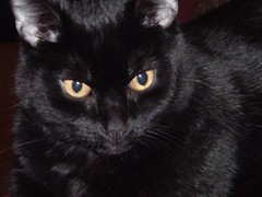 'Our beautiful cat Spike. 2005 (annedavidspike) Tags: cat blackcat adorable precious nervous spike curious playful loveable quirky mischevious zany territorial faithful contented ourfriend fastidious homeloving