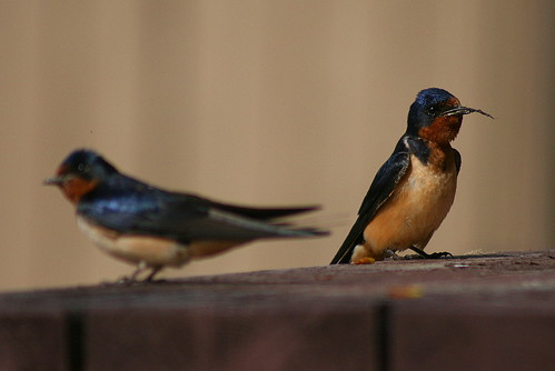 Barn Swallows with mud for nest