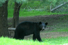 Smaller of the 2! (deerluvr) Tags: ontario canada muskoka inmybackyard blackbear