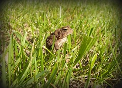 Tiny in the sun (Whitney Haught) Tags: eye grass animals outdoors little ground warts toad tiny peeper
