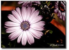 Purple Flower (Muddy River Photography) Tags: flower macro purple bloom adp lucis abigfave almueller