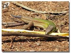 Lucertola (Peppe Calandrino) Tags: verde coda lucertola mazara rettile