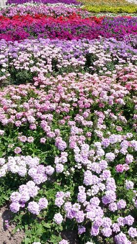 Flowers in Zuchwil Garden Center