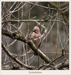 KUSA-6712 (Weinstöckle) Tags: vogel eichelhäher rabenvogel