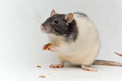 Brie (KristyR929) Tags: pet rat fancy brie
