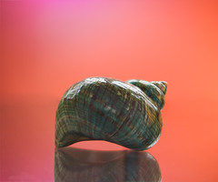 Day 43 of 365 - Seashell