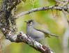 Reunion olive-backed white-eye (Zosterops olivaceus)_5658 (mats.grahn) Tags: reunion birds zosterops d80 70300mmf4556gvr fbwnewbird fbwadded reunionwhiteeye zosteropsolivaceus