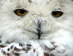 Female Snowy Owl (Dennis@Stromness) Tags: uk nature animals scotland nationalpark britain wildlife highland animalplanet aviemore cairngorms kincraig kingussie speyside invernessshire wildlifepark grampian awardflickrbest