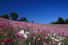 field of cosmos (* Yumi *) Tags: pink autumn favorite flower field bluesky explore cosmos  naturesfinest yourfavorite 25faves abigfave anawesomeshot colorphotoaward superaplus aplusphoto superbmasterpiece thegoldenmermaid