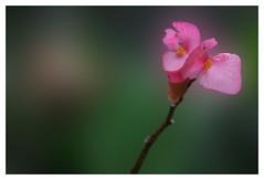 passionatley pink (teapotqueen) Tags: pink flower diamondclassphotographer flickrdiamond