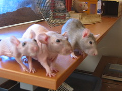 My 3 girls (worldchampscwsox) Tags: pets cute bird animals pretty dumbo rats rex rodents bestfriends efs1855mmf3556 cutepets fancyrats housepets dumborats smallpets xti femalerat anawesomeshot hairlessrats smallfury rexrats shotbybird worldchampscwsox dumboratsrexrexrats