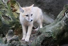 jonge swiftvos6 (Arie van Tilborg) Tags: blijdorp dieren dierentuin swiftfox diergaarde rotterdamzoo
