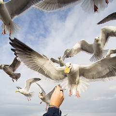 (brianchapman) Tags: ocean seagulls beach birds coast washington feeding dreamcatcher fivestarsgallery alemdagqualityonlyclub obramaestra