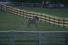 Charm (uptonia) Tags: horse farm pony gallop