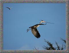 Heron in flight in Flevopark, Amsterdam (Daveness_98) Tags: blue sky bird heron amsterdam birds europe blauw blu vogels bluesky cielo hemel reiger vogel oost blauwehemel goldstaraward flickrlovers