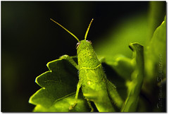 Grilo 2 (.Tatiana.) Tags: friends macro verde green closeup grilo filtro braganapaulista johanes fotoclube nacasadamami johanesduarte closeup42 siteparavendadefotos httpwwwplanobfotodesigncom fototatianasapateiro