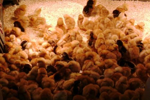 Baby chicks at Misty Meadows Farm