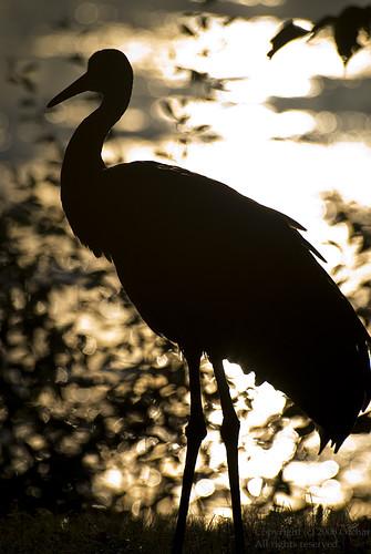 Sandhill Crane in Silhouette