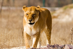 Lioness (Max Loxton) Tags: pakistan 20d canon 300mm lioness lahore f4 wildlifepark yasirnisar maxloxton