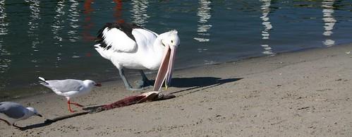 Pelican at Lakes Entrance, VIC.