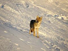 Are you edible? (smashz) Tags: coyote ski dawn wildlife tahoe hunt truckee smashz