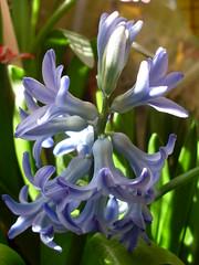 Our Blue Common Hyacinth (Padeia) Tags: home germany spring balcony balkon samsung 2008 hyacinth frhling hyacinthus springflower hyazinthe bluehyacinth hyacinthusorientalis frhlingsblume gardenhyacinth commonhyacinth gartenhyazinthe dutchhyacinth padeia