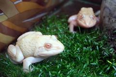 albino frog?