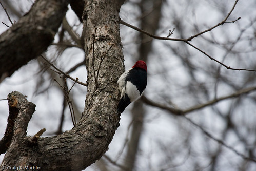 Red-headed Woodpecker (2 of 2)
