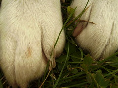 Bandi has Socked Feet (The Eighteenth Risk Taken) Tags: dog cute feet grass yard goldenretriever puppy polaroid happy foot golden nice mutt mix puppies lab toes labrador toe sweet tan fluffy retriever nails blond blonde hyper doggy pup doggie bandi t730 polaroidt730