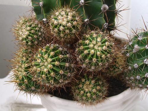 Cactus Babies