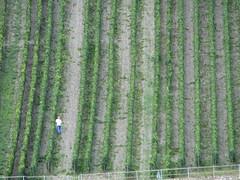 Rhine River 199 (Danette Marcoccia) Tags: germany vineyards rhineriver