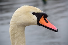 Portrait of a Mute Swan (thoth1618) Tags: ny nyc newyork newyorkcity brooklyn prospectpark park nycpark nycparks nycdepartmentofparksandrecreation white bird swan muteswan cygnusolor fowl waterfowl portrait water drop droplets bokeh photooftheday prospect droplet drops